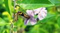 Caterpillar.national botanical garden Bangladesh.png