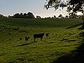Cattle, Stock Lane - geograph.org.uk - 267543.jpg