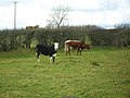 Cattle at Crossnamoyle - geograph.org.uk - 1765704.jpg
