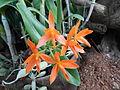 Cattleya aurantiacajf9273 04.JPG