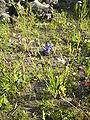 CentaureaCyanus-overz-kl.jpg