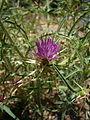 Centaurea calcitrapa capitulum and plant.JPG