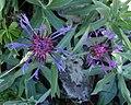 Centaurea triumfetti P25.jpg