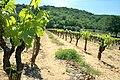 Ceps de vigne à Saint-Geniès-de-Comolas.jpg