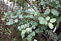 Ceratonia siliqua - Botanischer Garten, Dresden, Germany - DSC08465.JPG