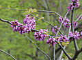 Cercis siliquastrum - Judas Tree 01.JPG