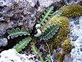 Ceterach officinarum b.jpg