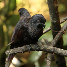 Chalcopsitta atra -two perching-8a-1c.jpg