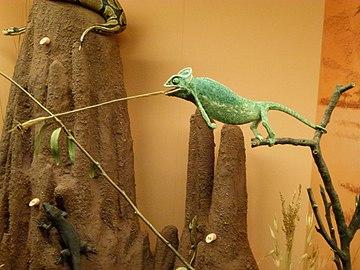 Chamaeleonidae - Natural history museum of Geneva.jpg