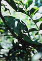 Chameleo parsonii.jpeg