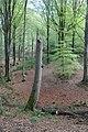 Chandelle de hêtre préservée pour la biodiversité.jpg