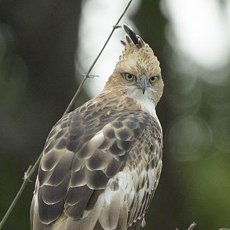 Bandipur National Park - Changeable hawk-eagle in Bandipur reserve, Karnataka
