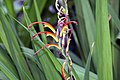 Chasmanthe bicolor 3zz.jpg