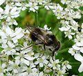 Cheilosia illustrata - Flickr - gailhampshire (2).jpg