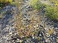 Chenopodium strictum sl3.jpg