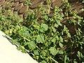 Chenopodium vulvaria sl25.jpg