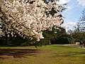 Cherry Blossom, Valley Gardens - geograph.org.uk - 1801350.jpg