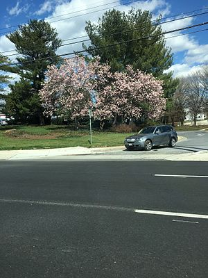 White Flint Mall - Cherry Blossoms near White Flint Mall in 2016.