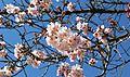 Cherry blossoms Lake Balboa (20140330-0346).JPG