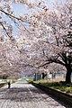 Cherry blossoms at Amabiki station ruin - panoramio (1).jpg