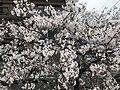 Cherry blossoms in Fukuoka, Fukuoka 20190407.jpg