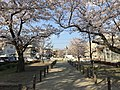 Cherry blossoms near Zasshonokuma Station 20190401-9.jpg