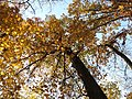 Chestnut Oak (31028946291).jpg