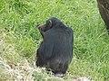 Chimpanzee 04.jpg