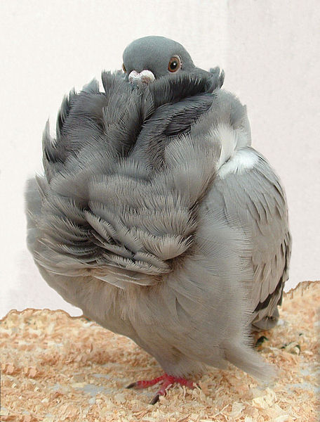 456px-Chinese_owl.jpg