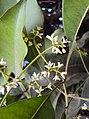 Chionanthus ramiflorus Roxb..jpg