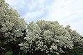 Chionanthus retusus - Chinese Fringetree - 4.jpg