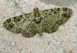 Green pug - Image: Chloroclystis rectangulata 01