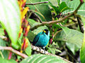 Chlorophanes spiza -Trinidad -male-8.jpg
