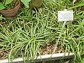 Chlorophytum nepalense - Copenhagen Botanical Garden - DSC08031.JPG