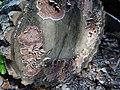 Chondrostereum purpureum a3 (2).jpg