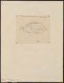 Chromis sparmanni - 1825 - Print - Iconographia Zoologica - Special Collections University of Amsterdam - UBA01 IZ14000062.tif