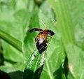 Chrysomelidae. Galerucinae Leaf beetle - Flickr - gailhampshire.jpg