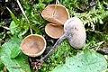 Ciboria coryli 170201wb.jpg