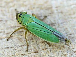 Binsenschmuckzikade (Cicadella viridis)