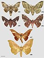 Cicinninae (10.3897-zookeys.815.27335) Figures 153–158.jpg