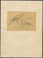 Circus jardinii - 1863-1876 - Print - Iconographia Zoologica - Special Collections University of Amsterdam - UBA01 IZ18300195.tif