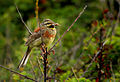 Cirl bunting (Emberiza cirlus), Le Petit Loc'h, Guidel, Brittany, France (19378152073).jpg