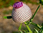 Cirsium eriophorum (Kozara National Park, Republika Srpska).jpg