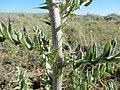 Cirsium flodmanii (26972426043).jpg