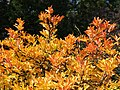 Citrus trifoliata Poncyria trójlistkowa 2014-10-12 02.jpg