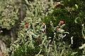 Cladonia sp. (37666964004).jpg