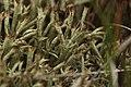 Cladonia uncialis (36329594226).jpg