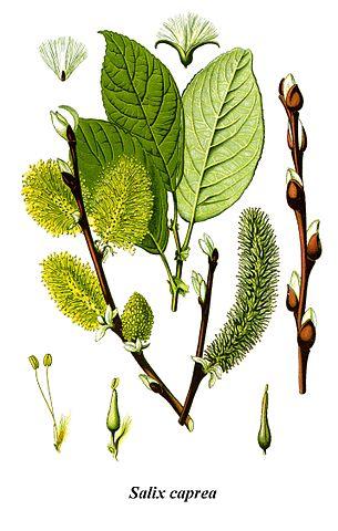 Sälg, Salix caprea