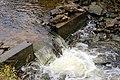 Climbing Chinook Salmon (15359574340).jpg