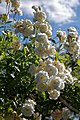 Climbing white rose at Boreham, Essex, England 1.jpg